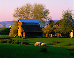 Whidbey Island, WA  <br /> Evening light on farm & grazing sheep near Langley