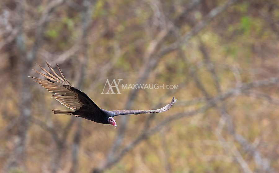 Turkey vultures are a common sight in Costa Rica.