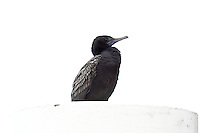 Little Black Cormorant, Sydney