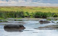 Hippopotamus, Hippopotamus amphibius, in  a pond in Ngorongoro Crater, Ngorongoro Conservation Area, Tanzania