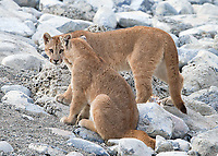 One of the puma families we saw included a mother with two seven-month-old cubs.  Here are the siblings, a male and female.