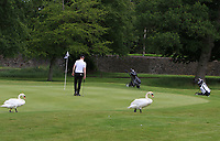 Swans crossing at the 9th green during Round 1 of the Titleist &amp; Footjoy PGA Professional Championship at Luttrellstown Castle Golf &amp; Country Club on Tuesday 13th June 2017.<br /> Photo: Golffile / Thos Caffrey.<br /> <br /> All photo usage must carry mandatory copyright credit     (&copy; Golffile | Thos Caffrey)