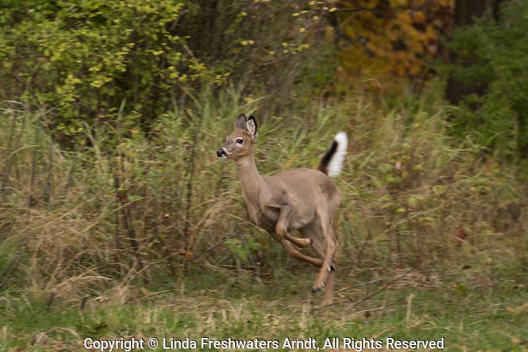 Alarmed white-tailed fawn running in an autumn field.