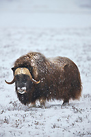 Musk ox on the snowy tundra of the arctic north slope, Alaska.