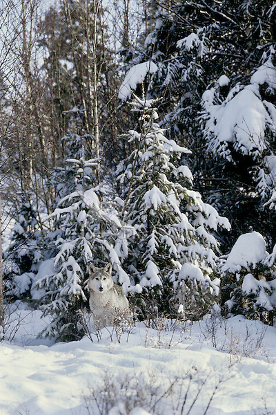 Gray wolf or Timber wolf (Canis lupus) in fresh winter snow.