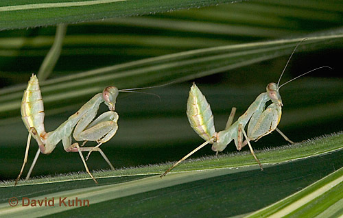 "0718-07mm  Wide armed mantis - Cilnia humeralis ""Nymph"" © David Kuhn/Dwight Kuhn Photography"