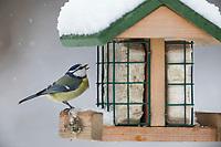 Blaumeise, an der Vogelfütterung, Fettfutter, Energieblock, Energiekuchen, Blau-Meise, Meise, Meisen, Cyanistes caeruleus, Parus caeruleus, blue tit, tit, tits, La Mésange bleue