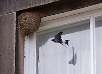House Martin flying to its nest to feed young, Whitewell, Lancashire.
