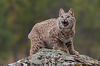 Bobcat snarling on the top of a rock - CA