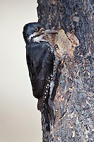 Black-backed Woodpecker - Picoides arcticus - Adult female