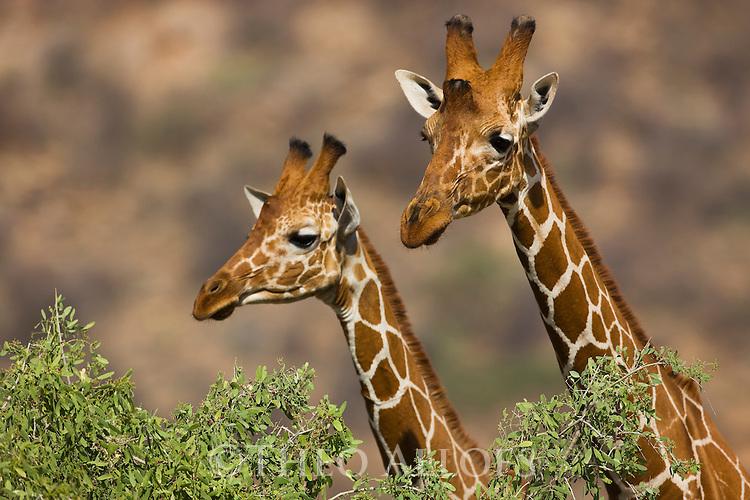 Reticulated giraffes (Giraffa camelopardalis reticulata), portrait