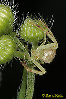 0903-06uu  Crab spider - Thomisidae Genus - © David Kuhn/Dwight Kuhn Photography