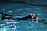 Paraplegic Nieko swims at the 10th annual Pooch Plunge at the Carson City Aquatics Center, in Carson City, Nev., on Saturday, Sept. 22, 2018. The event is a fundraiser for the Carson Animal Services Initiative which supports Nevada Humane Society services in Carson City.<br /> Photo by Cathleen Allison/Nevada Momentum