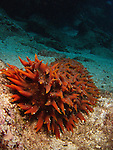 Lighthouse, Green Island -- Pineapple sea cucumber, Thelenota ananas