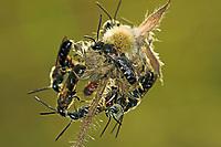 Furchenbiene, Furchenbienen, Lasioglossum albipes, Bloomed Furrow-bee