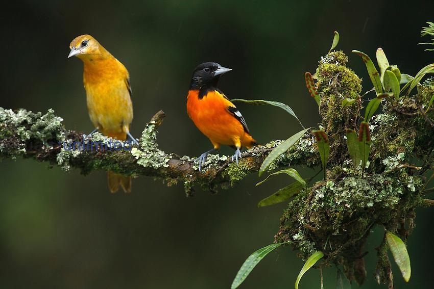 Male and female Baltimore or Northern Orioles (Icterus galbula), Costa Rica