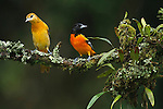Male and female Baltimore or Northern Orioles (Icterus galbula), Costa Rica