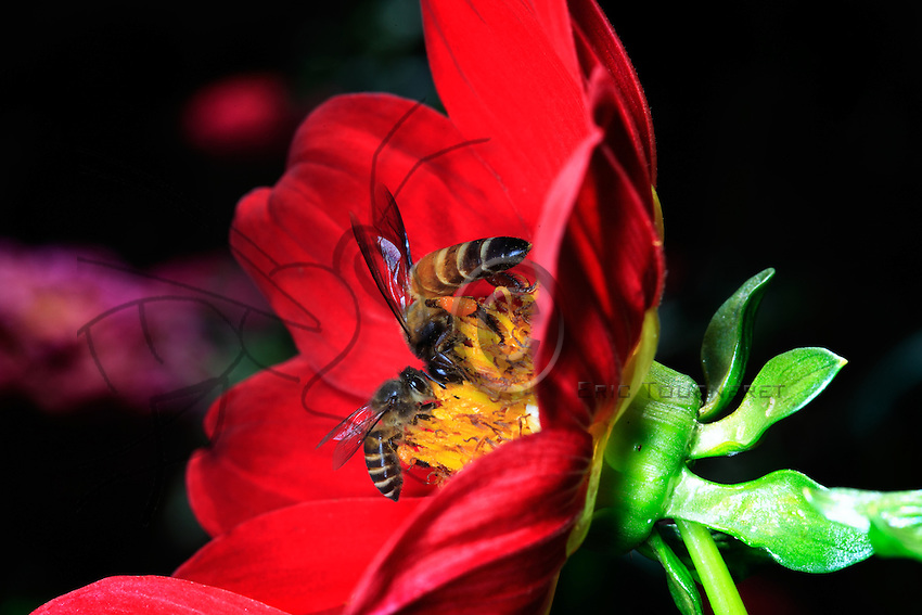 Two bees on a flower's stamens represent two species of honey producing Asian bees. Apis Cerena nests in hollow tree trunks and holes and builds parallel combs. Apis dorsata, the giant bee, builds a unique comb on cliff overhangs and tree branches.