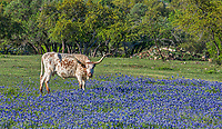 Longhorn in the bluebonnets at the ranch. These wonderful cattle have a reputations as very docil and friendly cattle.  We were lucky to capture this one as she was grazing in the bluebonnets.