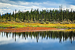 Group of Canadian Geese resting on the fall colored tundra by the lake. The boreal forest reflecting on the surface. Dalton Hwy, Arctic Alaska, Autumn.