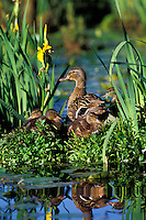 Mallard Ducks (Anas platyrhynchos)--hen with young ducklings resting along edge of pond.  Pacific Northwest.  June.