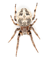 Larinioides cornutus - Female. A common spider and is most often found building its orb web on grasses near water.