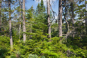 Nancy Brook Scenic Area - Old growth forest at Nancy Brook Scenic Area in the White Mountains, New Hampshire. This is an example of an old-growth high-elevation spruce - fir forest.