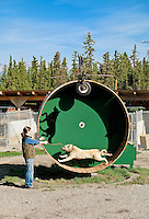 Alaskan Huskey sled dog on training wheel at Jeff King's Huskey Homestead Kennel, Denali, Alaska, USA