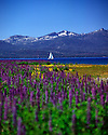 Lake Tahoe Landscape Spring Flowers and Sailboat
