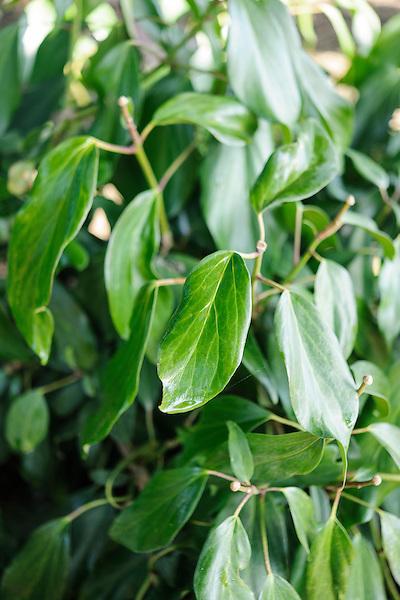 Hedera 'Arborescens'
