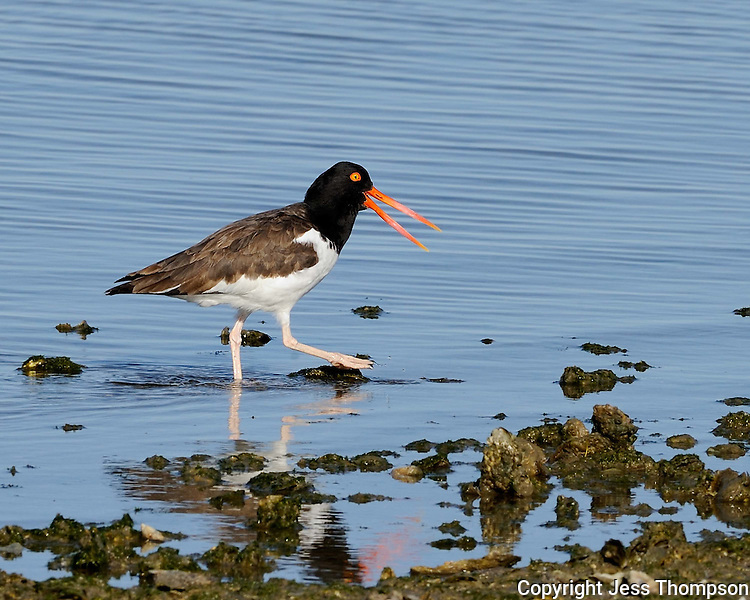 American Oystercatcher, Intercostal Canal near Aransas Wildlife Refuge
