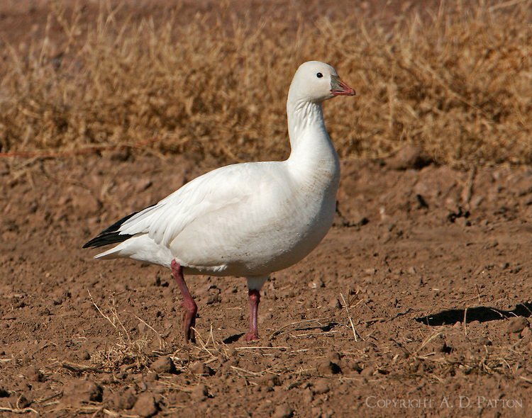 White adult Ross's goose