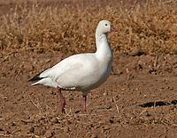 White adult Ross's goose