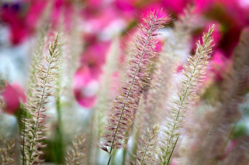 Ornamental grasses and flowers. Palm Desert, California