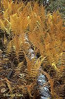 FE07-016d  Fern - autumn