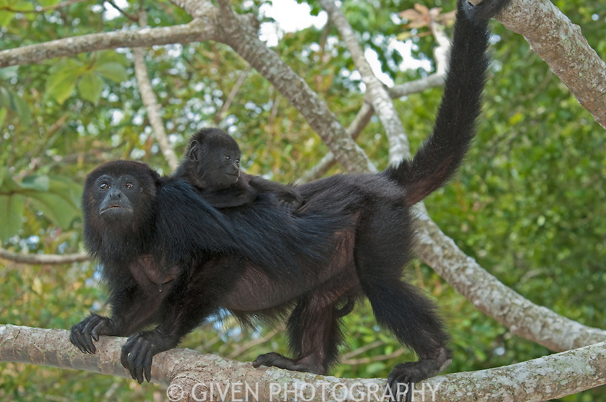 Black howler monkey with young, Belize, Central America