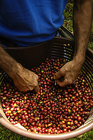 Sustainable Coffee Farming in Costa Rica.
