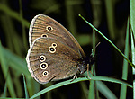 Ringlet Butterfly (Aphantopus hyperantus) brown, resting on blade of grass, side view of wings with eye spots