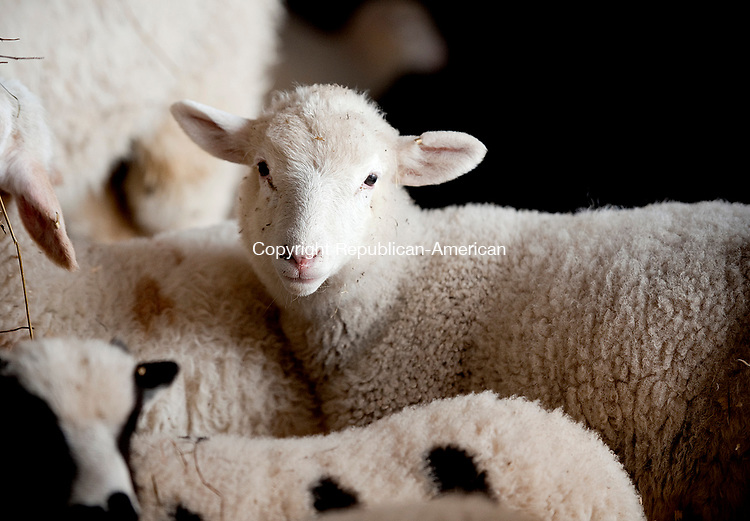 WATERTOWN, CT-040717JS04--Spring lambs at Kalenauskas Farm in Watertown. Jim Shannon Republican-American
