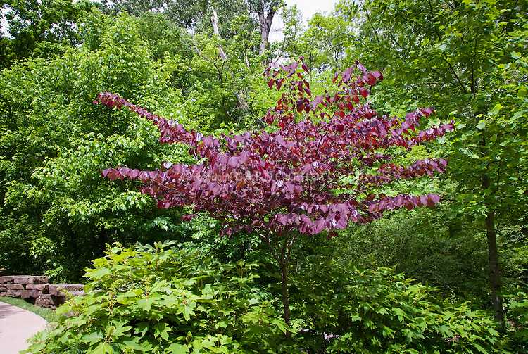 Cercis canadensis Forest Pansy tree in landscape