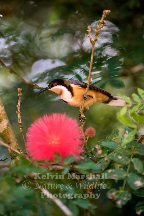 Eastern spinebill (Acanthorhynchus tenuirostris) is a species of honeyeater found in south-eastern Australia in forest and woodland areas, as well as gardens in urban areas of Canberra, Sydney and Melbourne. It is around 15 cm long, and has a distinctive black, white and chestnut plumage, a red eye, and a long downcurved bill.