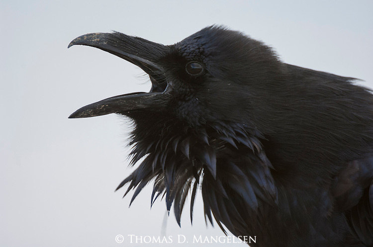 Portrait of a raven calling in Yellowstone National Park, Wyoming.