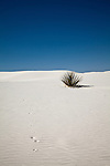 Small yucca on white sand dune