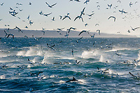 bird, Cape Gannet, Morus capensis, in feeding frenzy on a bait ball of pilchards, Sardinops sagax, during the sardine run,a common dolphin, Delphinus capensis surfaces in the foreground, Wildcoast, Transkei, South Africa, Indian Ocean