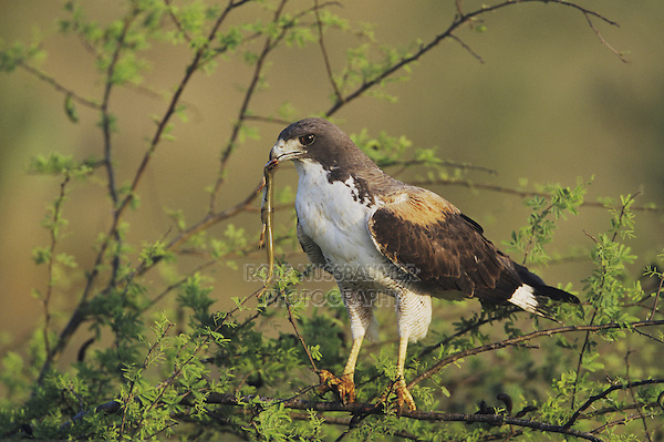 White-tailed Hawk, Buteo albicaudatus, adult with skink prey in  Huisache tree, Rio Grande Valley, Texas, USA