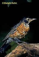 RO08-007z  American Robin - young -  Turdus migratorius