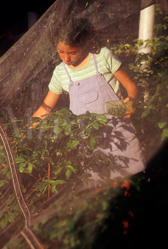 Young girl picking blueberries from within protective mesh tenting.