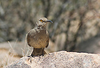 Curve-billed thrasher, Toxostoma curvirostre. Saguaro National Park, Arizona