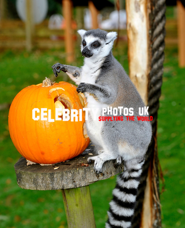 ring-tailed lemurs at ZSL Whipsnade Zoo will be getting their fangs into some tasty treats tomorrow, as they're dished up pumpkin platters to get them into the spooky spirit