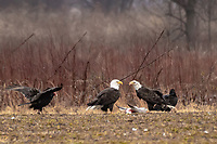 2 Eagles and a Volture over a Snow Goose Kill .Snow geese populations reach about 20,000 in late November and early December at Sequoyah National Wildlife Rufuge nestled in gently rolling foothills of the Ozark Mountains.